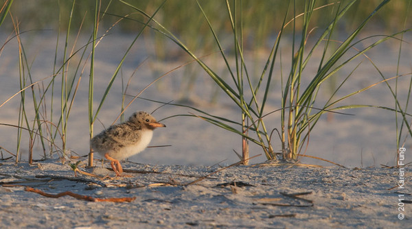 2 July: Common Tern chick at Nickerson Beach