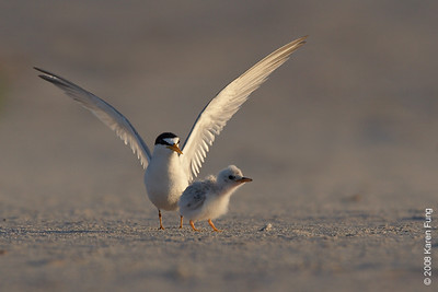 July 13th: Least Tern with chick at dawn at Nickerson Beach