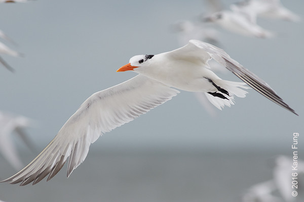 5 Oct: Royal Tern in Cape May, NY