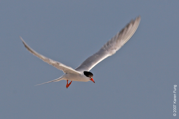Common Tern at Nickerson Beach
