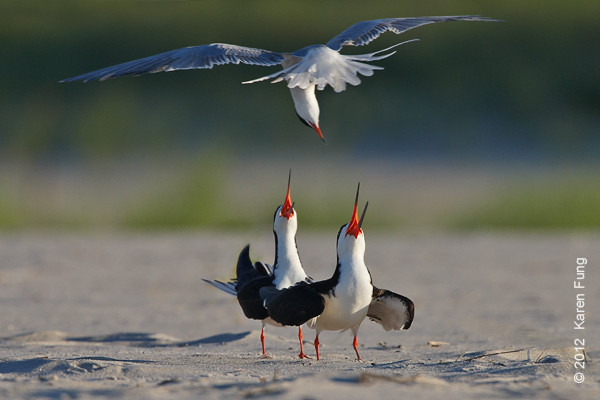 24 June: Two Black Skimmers being buzzed by a Common Tern at Nickerson Beach