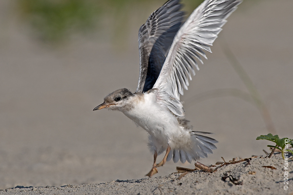 July 11th: Common Tern chick testing its wings at Nickerson Beach
