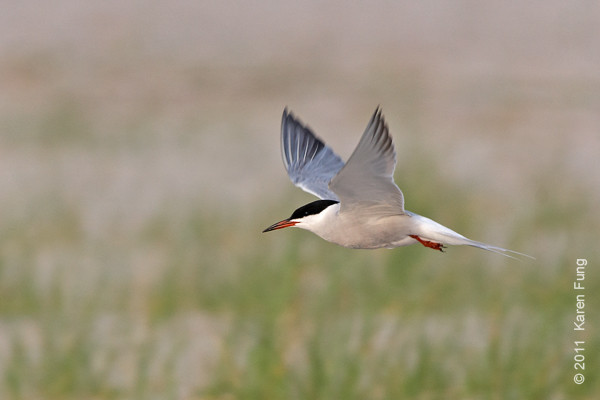 19 June: Common Tern at Nickerson Beach