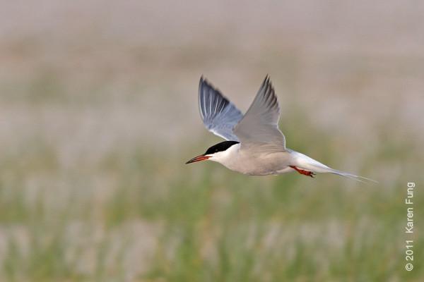 19 June: Common Tern at Nickerson Beach