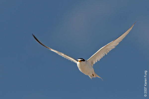 Least Tern at Nickerson Beach