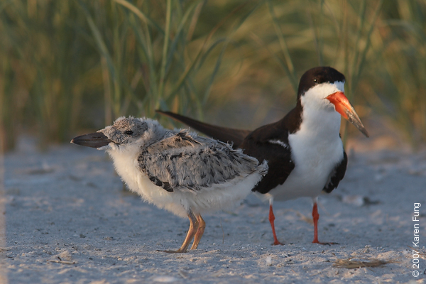 Black Skimmer and chick at sunset.