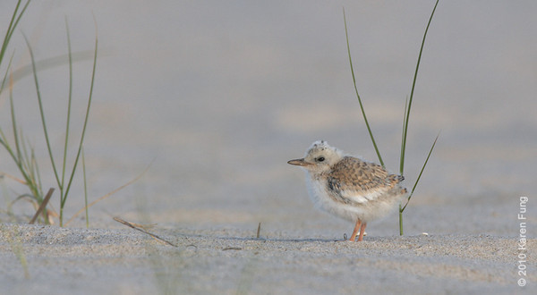 3 July: Least Tern chick