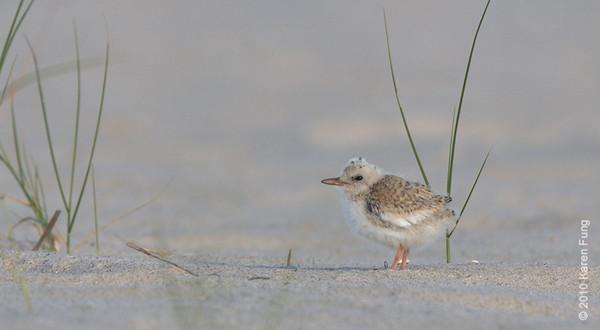 3 July: Least Tern chick