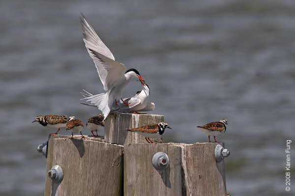 May 24th: A male Common Tern courts a female, while Ruddy Turnstones stand guard at Tiana Beach off Dune Road.