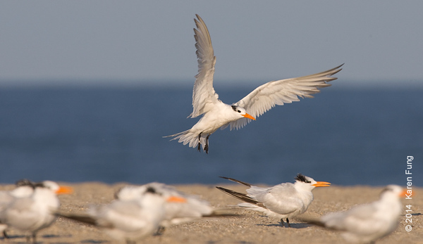 18 Sept: Royal Tern in Cape May (near the 2nd Ave dune crossing)