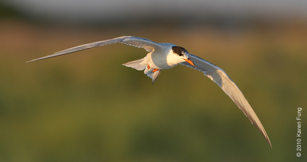 27 July: Common Tern at sunset