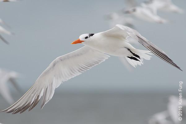 5 Oct: Royal Tern in Cape May, NY