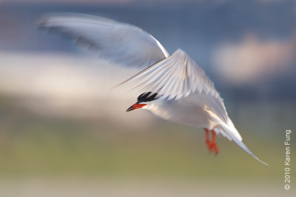 26 June: Common Tern, hovering