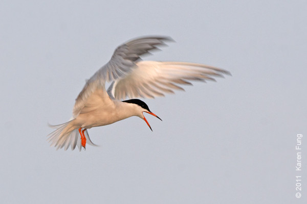 19 June: Common Tern calling at Nickerson Beach at dawn