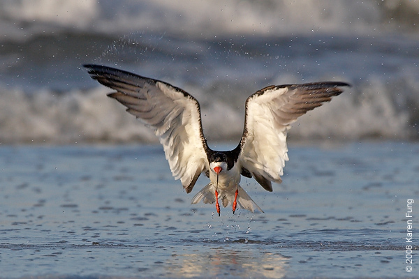 July 11th: Black Skimmer taking off at Nickerson Beach