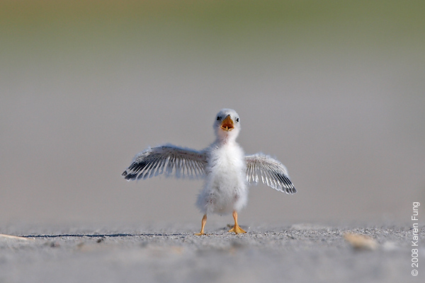 July 11th: Least Tern chick vocalizing at Nickerson Beach