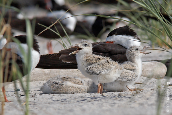 Black Skimmer chicks vocalizing at Nickerson Beach