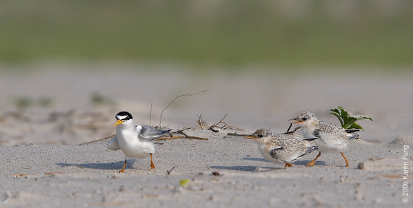July 9th: Least Tern chicks running after Mom (or Dad?) at Nickerson Beach