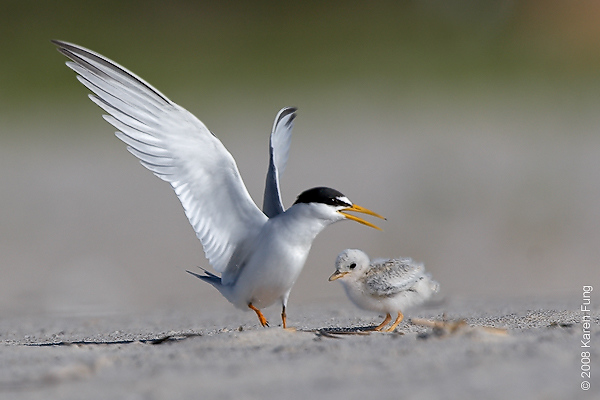July 11th: Least Tern with chick at Nickerson Beach