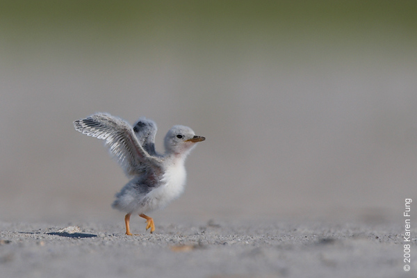 July 11th: Least Tern chick at Nickerson Beach