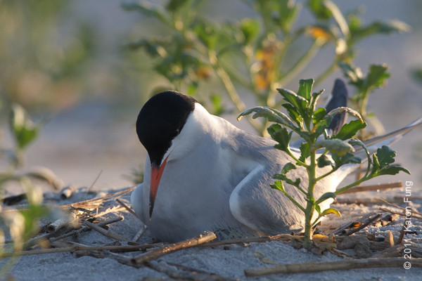 2 July: Common Tern sitting on egg(s) at Nickerson Beach