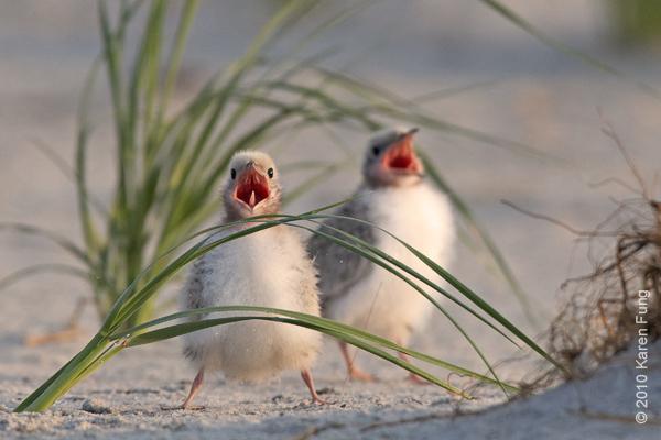 26 June: Common Tern chicks begging for food