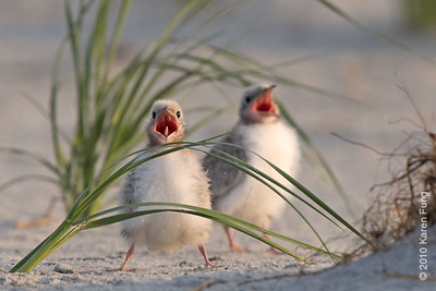 26 June: Common Tern chicks begging for food