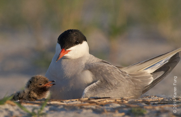 10 July: Common Tern and chick at Nickerson Beach
