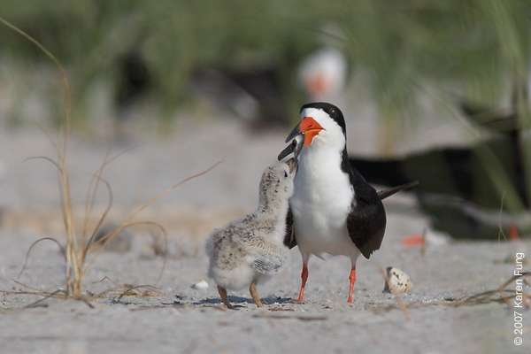 Feeding Time!! Black Skimmer with chick at Nickerson Beach
