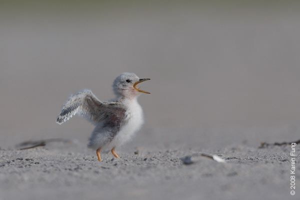July 11th: Least Tern chick calling at Nickerson Beach