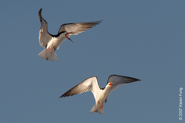Black Skimmers at Nickerson Beach