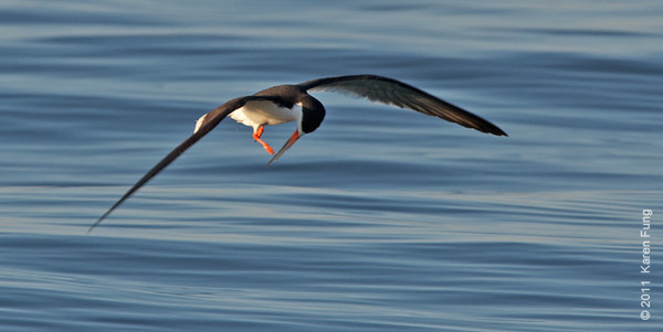 2 July: Black Skimmer at Nickerson Beach