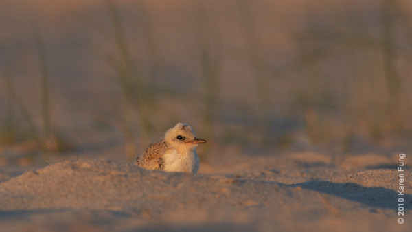 3 July 2010: Least Tern chick at sunset.