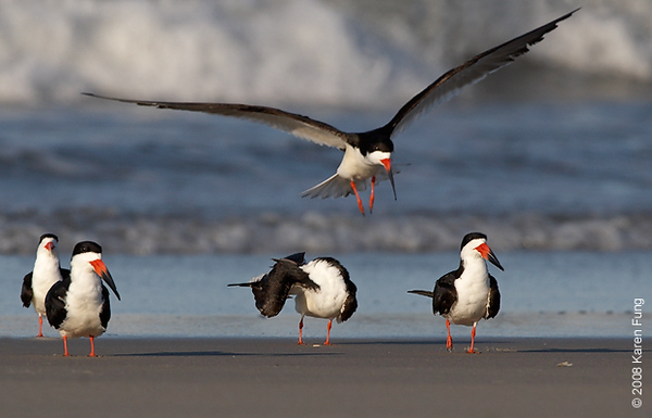 July 11th: Black Skimmers at Nickerson Beach