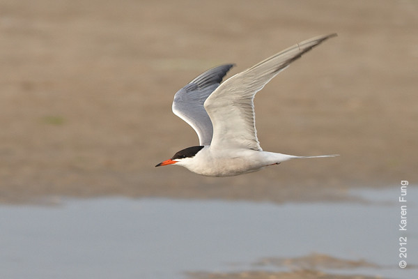 10 June: Common Tern at Nickerson Beach