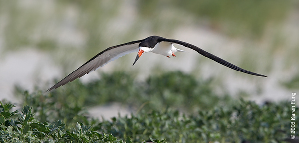 July 9th: Black Skimmer at Nickerson Beach