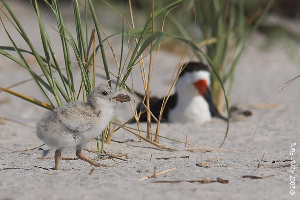 Black Skimmer with chicks at Nickerson Beach