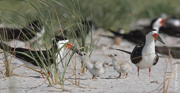 Black Skimmer feeding chicks at Nickerson Beach