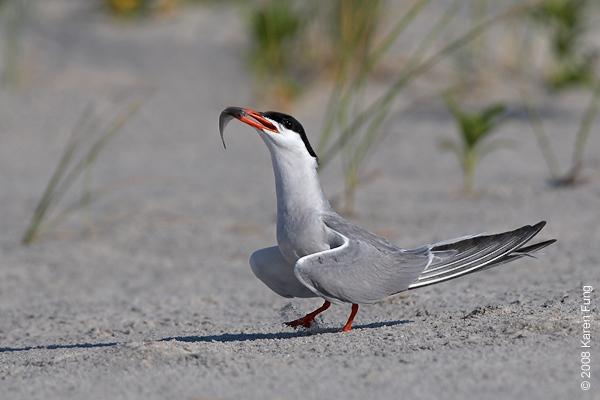 July 11th: Common Tern swallowing a fish at Nickerson Beach