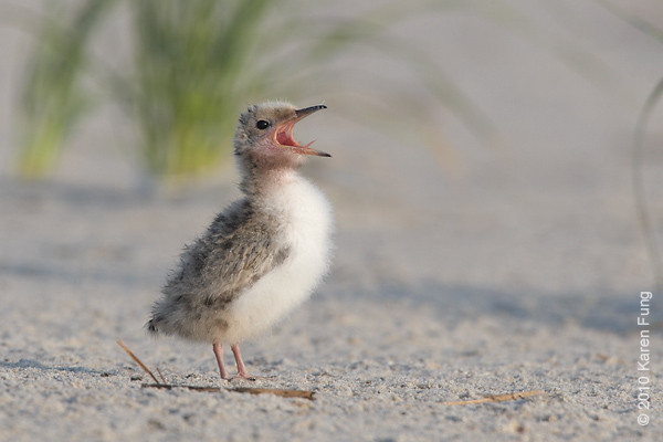 26 June: Common Tern chick calling
