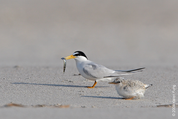 July 9th: Least Tern with fish and chick at Nickerson Beach