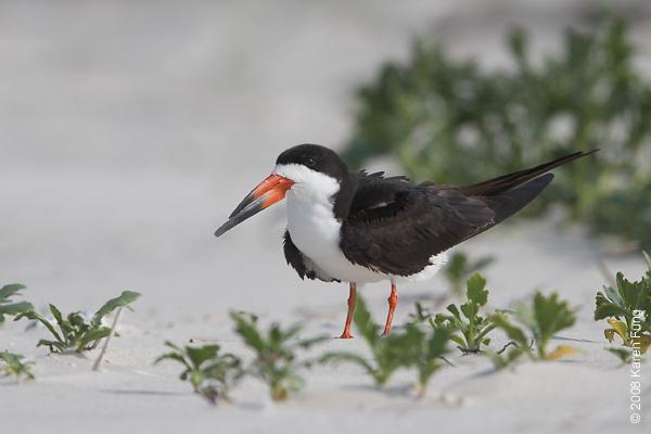 July 9th: Black Skimmer at Nickerson Beach