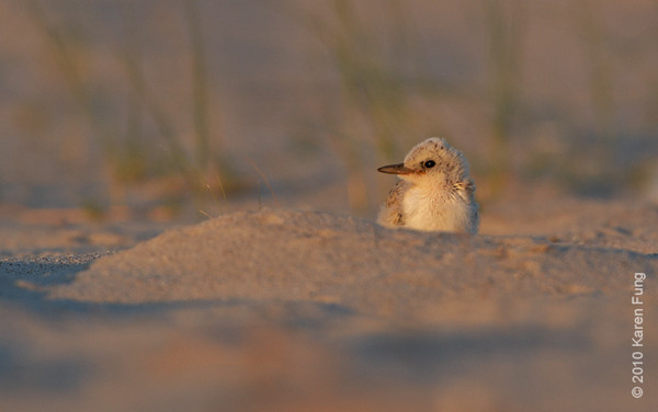 3 July: Least Tern chick at sunset