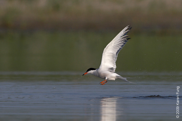 June 30th: Common Tern at Nickerson Beach