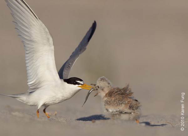 3 July: Least Tern delivering fish to chick