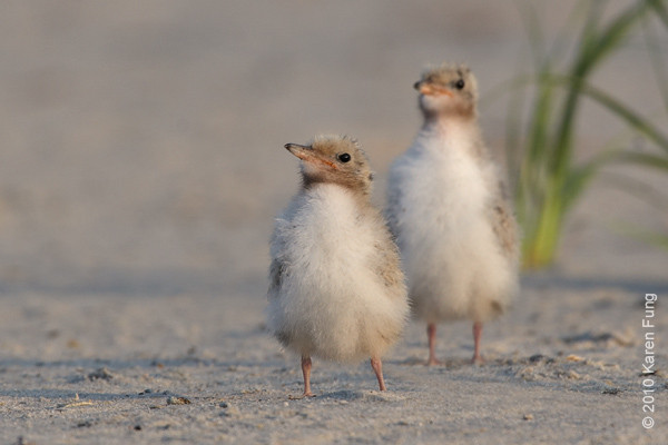 26 June: Common Tern chicks