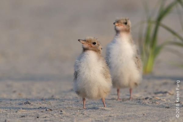 26 June: Common Tern chicks