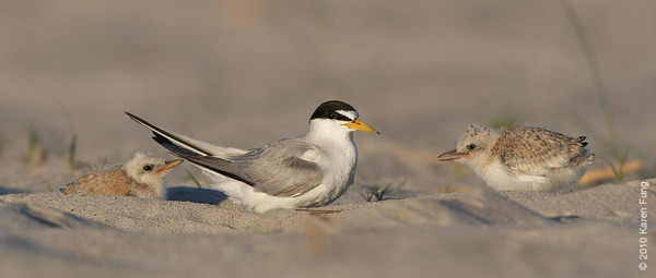 3 July: Least Tern family