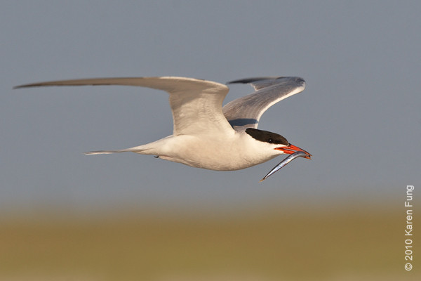 27 July: Common Tern with fish