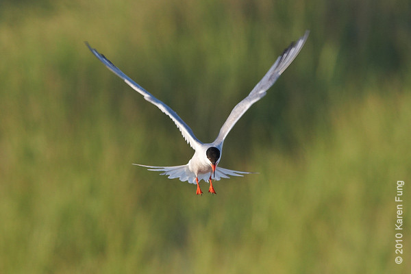 27 July: Common Tern, hovering